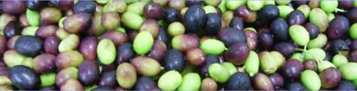 Olives ready for processing